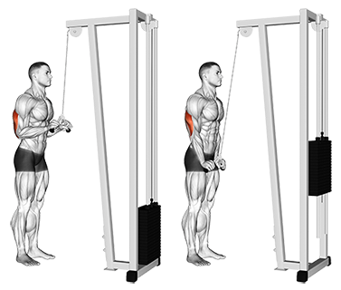 Exercise Database (Triceps19) - Cable V-Bar Triceps Pushdown ...